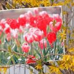 tulip gel medium May