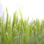 wheat-grass-(1-of-2)