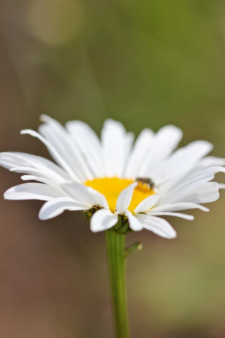 wild daisy // Delia Creates