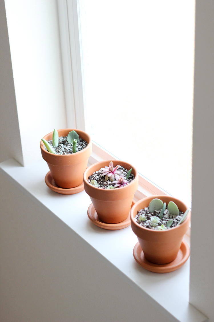 How to Grow Succulents From Cuttings // www.deliacreates.com