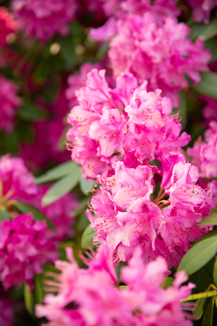 Rhododendron Bushe // www.deliacreates.com