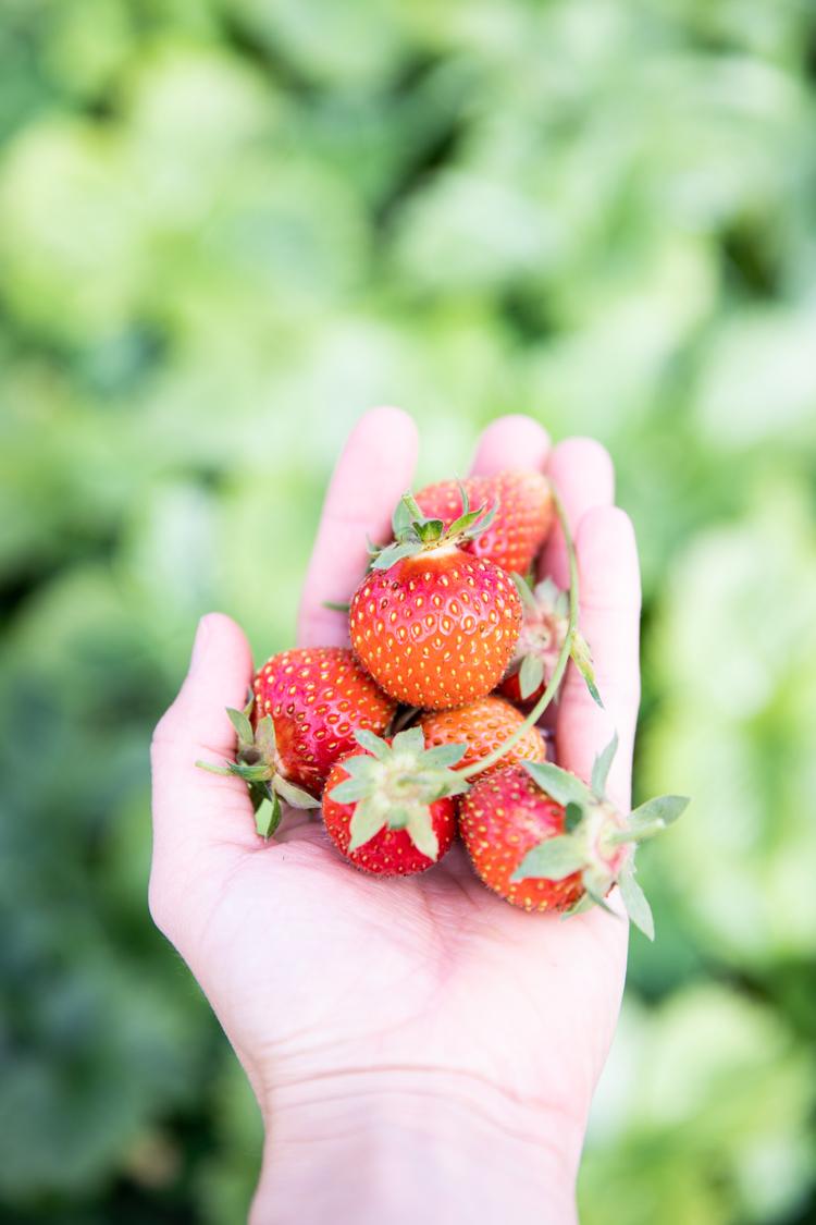 Freshly picked strawberries for Dairy Free Strawberry Pie + Coconut Oil Pie Crust Recipe // www.deliacreates.com