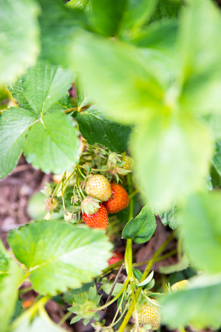 Garden Fresh Strawberry Pie + Coconut Oil Pie Crust Recipe // www.deliacreates.com // strawberries in the garden